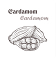 cardamom spice Sketch style of cardamom vector image vector image