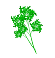 Fresh Green Parsley on A White Background vector image vector image