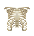 Rib cage isolated on white vector image vector image