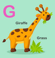 isolated animal alphabet letter g-grass giraffe vector image vector image