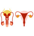 male and female set reproductive system anatomical vector image