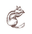 chipmunk hand drawn with contour lines on white vector image vector image