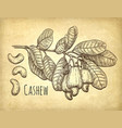 cashew branch and nuts vector image vector image