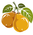 Two orange simple pears with green leaves ripe vector image vector image