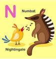 animal alphabet letter n-numbat nightingale vector image vector image