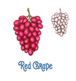 red grape fruit isolated sketch for food design vector image vector image