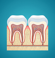 Two healthy human tooth in cutaway vector image vector image