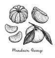 ink sketch of tangerines vector image vector image