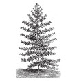 habit of a young tree of eucalyptus globulus vector image vector image