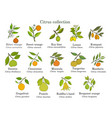 set different citrus branches with fruits and vector image