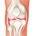 Knee joint of human vector image vector image