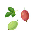 leaf and gooseberry vector image