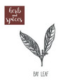 bay leaf sketch hand drawing bay leaf vector image