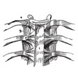 a vertebral articulation vintage vector image vector image