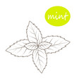 mint leaves on a white background vector image vector image