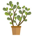 jade plant flower in pot flat isolated vector image vector image