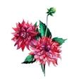 Dahlia flowers watercolor vector image