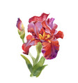 watercolor iris flower isolated on vector image vector image