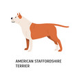 american staffordshire terrier or amstaff vector image vector image