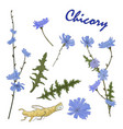 Flowers leaves branch and root chicory herb