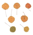 Autumn birch or Betula aspen Populus tremula vector image