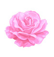pink rose open bud realistic hand drawn vector image