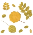 Autumn rowan birch or Betula aspen Populus vector image vector image