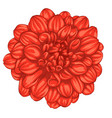 beautiful red dahlia isolated on white background vector image vector image