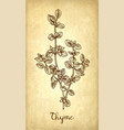 thyme ink sketch vector image