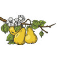 pear tree branch color sketch engraving vector image vector image