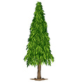a tall ashoka tree