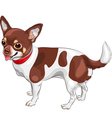 cute dog Chihuahua breed smiling vector image vector image