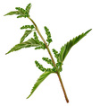 Nettle vector image vector image