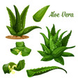 aloe vera plant and leaf cut with juice drops flow vector image vector image