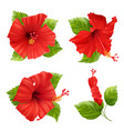 hibiscus flowers blossom set vector image vector image