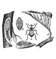 apple root weevil vintage vector image vector image