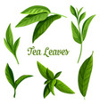 green or black tea leaves botanical plant design vector image