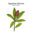 japanese skimmia skimmia japonica evergreen vector image