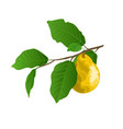 twig of pears with yellow ripe pear and leaves vector image