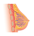 breast anatomy isolated vector image vector image