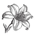 vintage engraving a lily flower vector image vector image