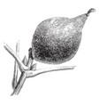 fruit juglans regia longirostris vintage vector image vector image