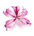 pink bauhinia purpurea vector image vector image