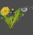 common dandelion plant vector image vector image