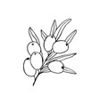 sea buckthorn branch hand drawn sketch vector image vector image