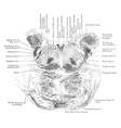 section through pons varolii vintage vector image vector image