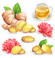 set of a fresh ginger root vector image vector image