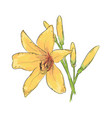 lilies hand draw of flower vector image
