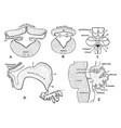 development of cerebellum vintage vector image vector image