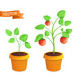 tomato eco plant growing stages botanical of vector image